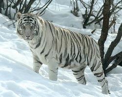 SiberianTiger